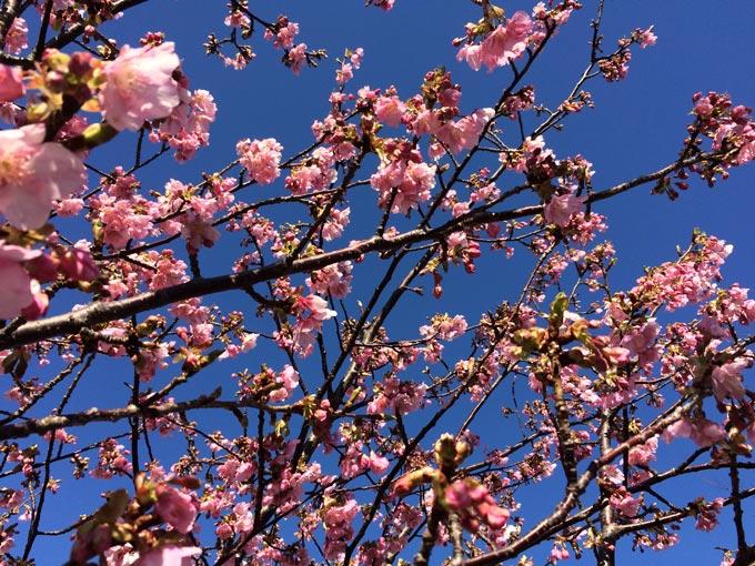 佐鳴湖 河津桜 満開