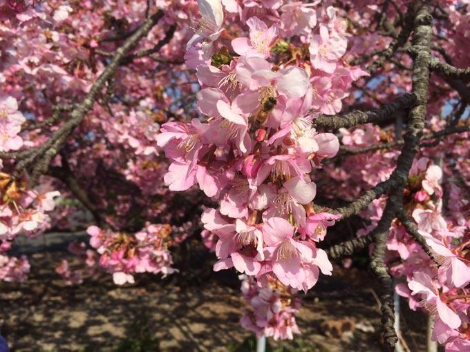 浜松市西区 倉田園 河津桜にとまる蜂浜松市西区 倉田園 河津桜の蜜を吸う蜂