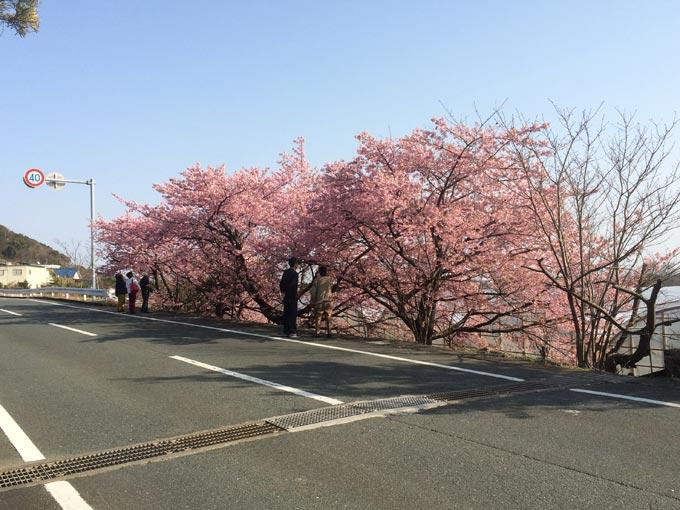 倉田園近くの河津桜