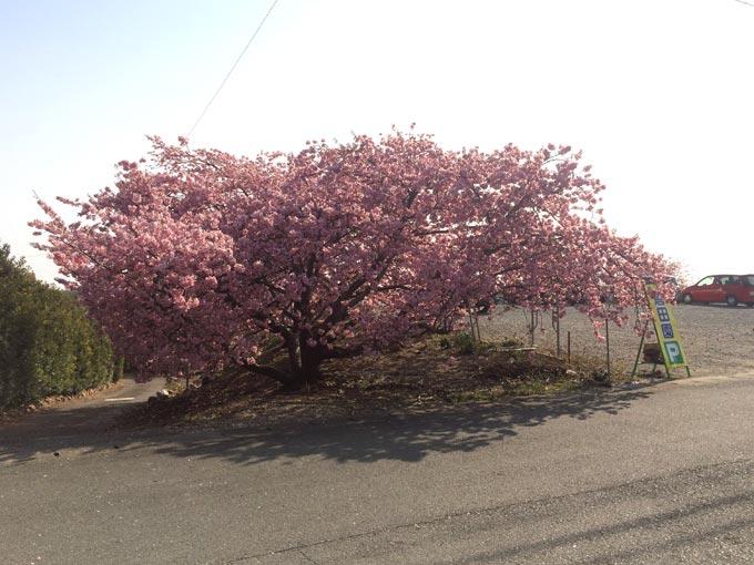 浜松市西区 倉田園駐車場 河津桜