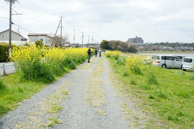 佐鳴湖の菜の花