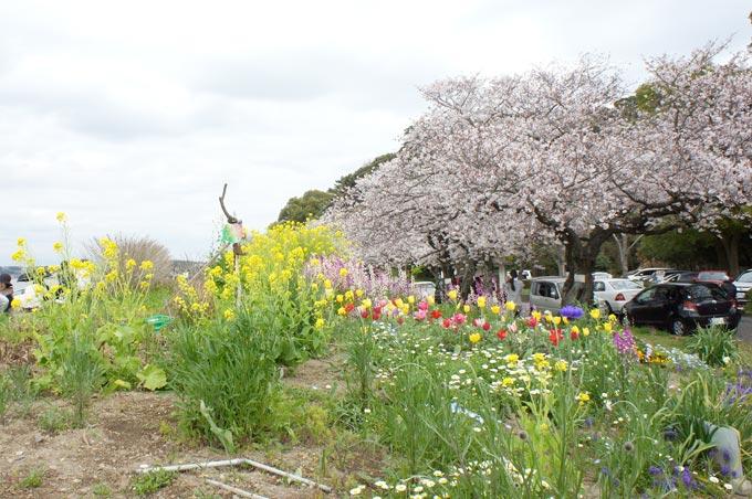 菜の花と桜と花壇