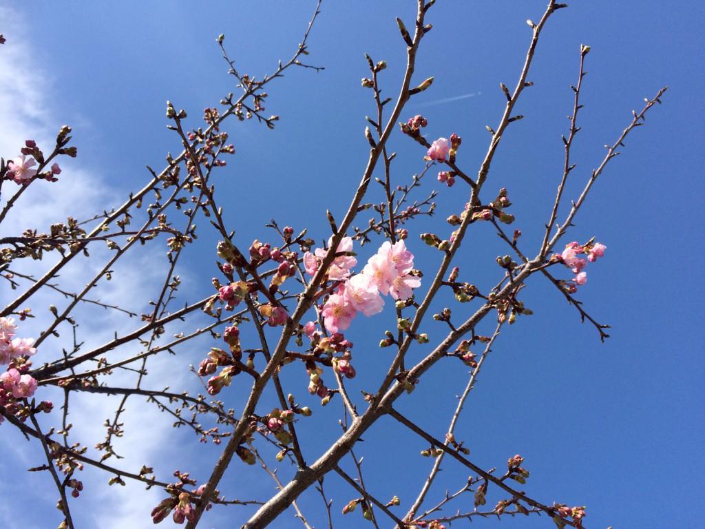 佐鳴湖の河津桜