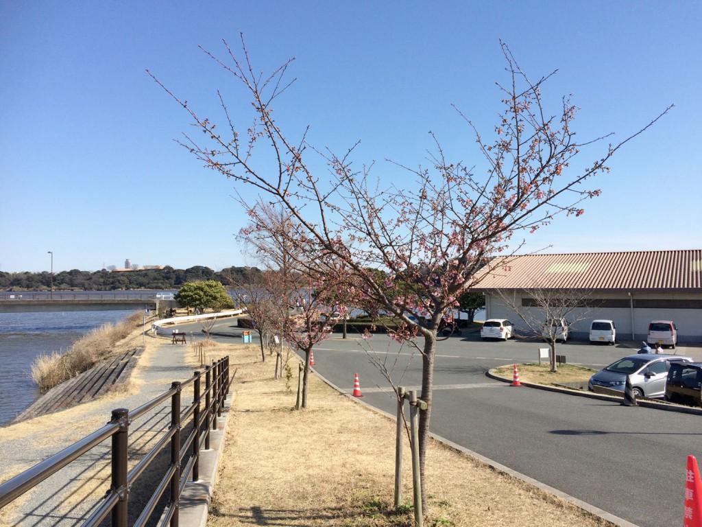 佐鳴湖漕艇場の河津桜