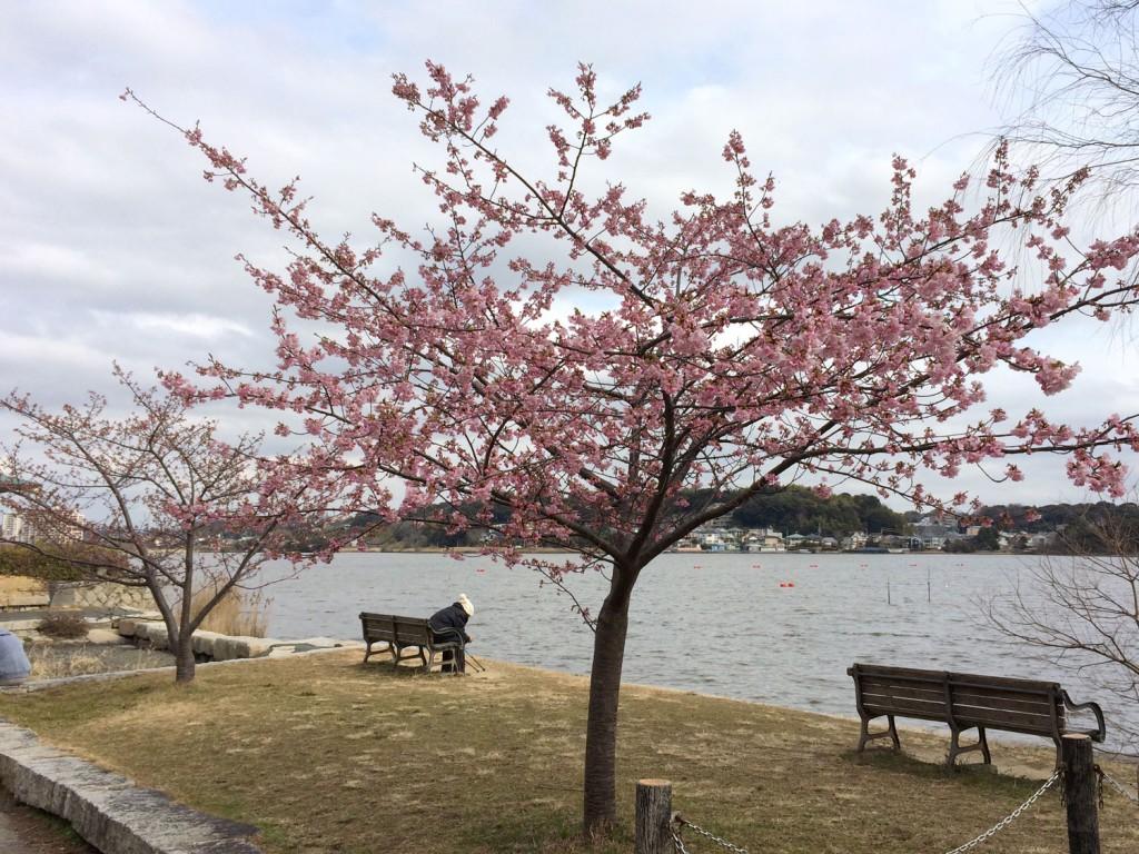 佐鳴湖時計台の河津桜