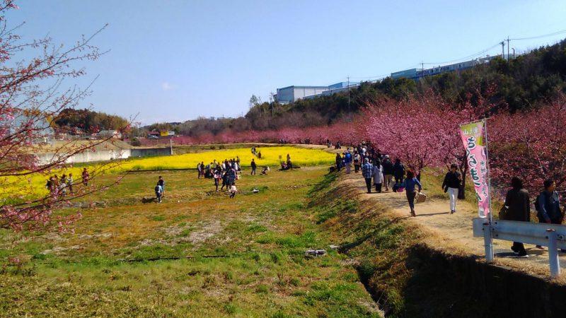 東大山の河津桜と菜の花畑。2019年2月23日撮影