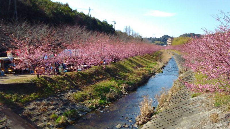 川と東大山の河津桜。2019年2月23日撮影