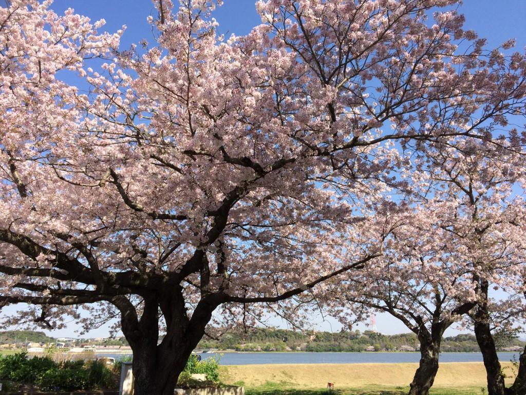 佐鳴湖東側の桜
