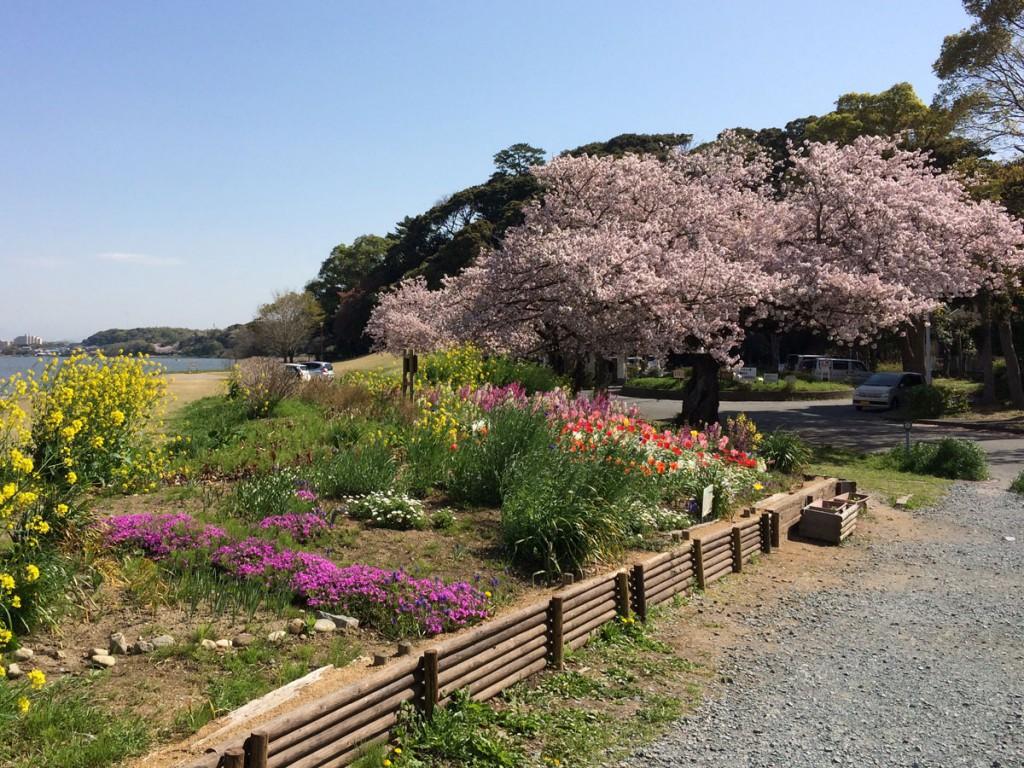 佐鳴湖東側の桜と花壇