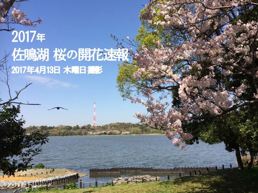 2017年佐鳴湖東側の桜