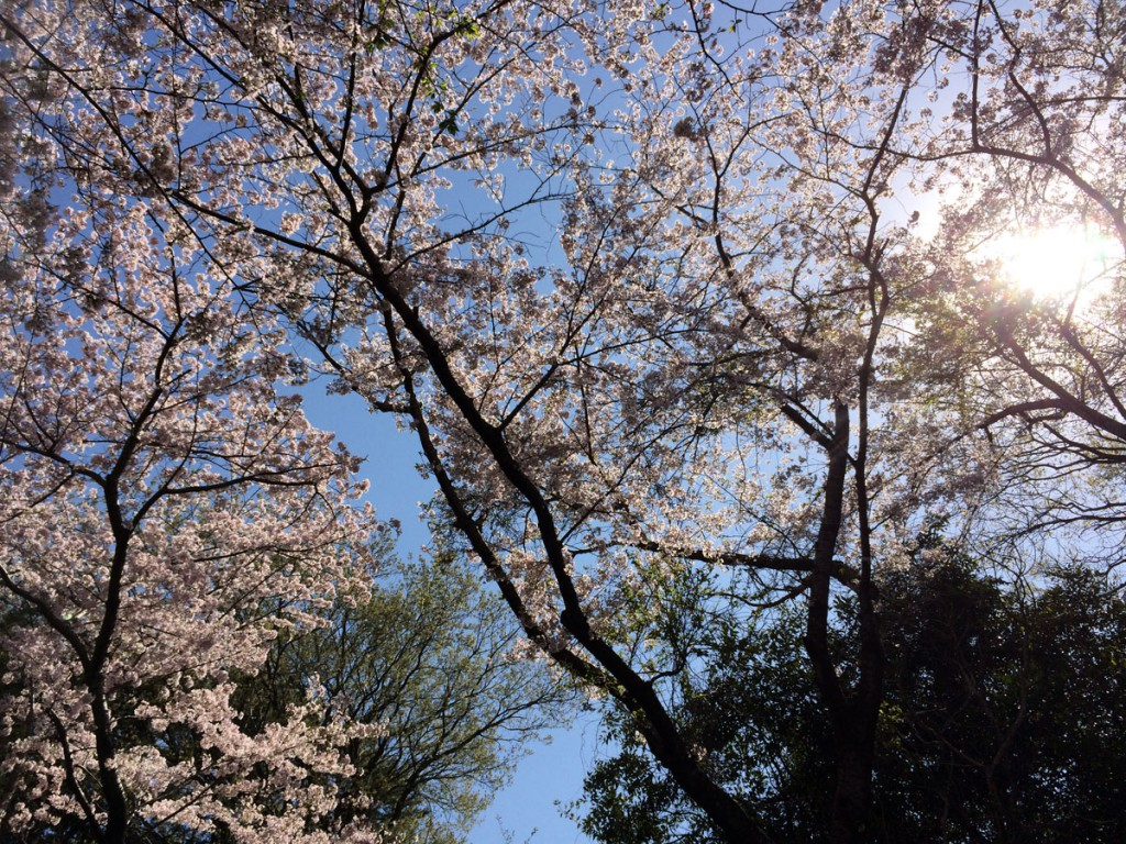 佐鳴湖桜のトンネル