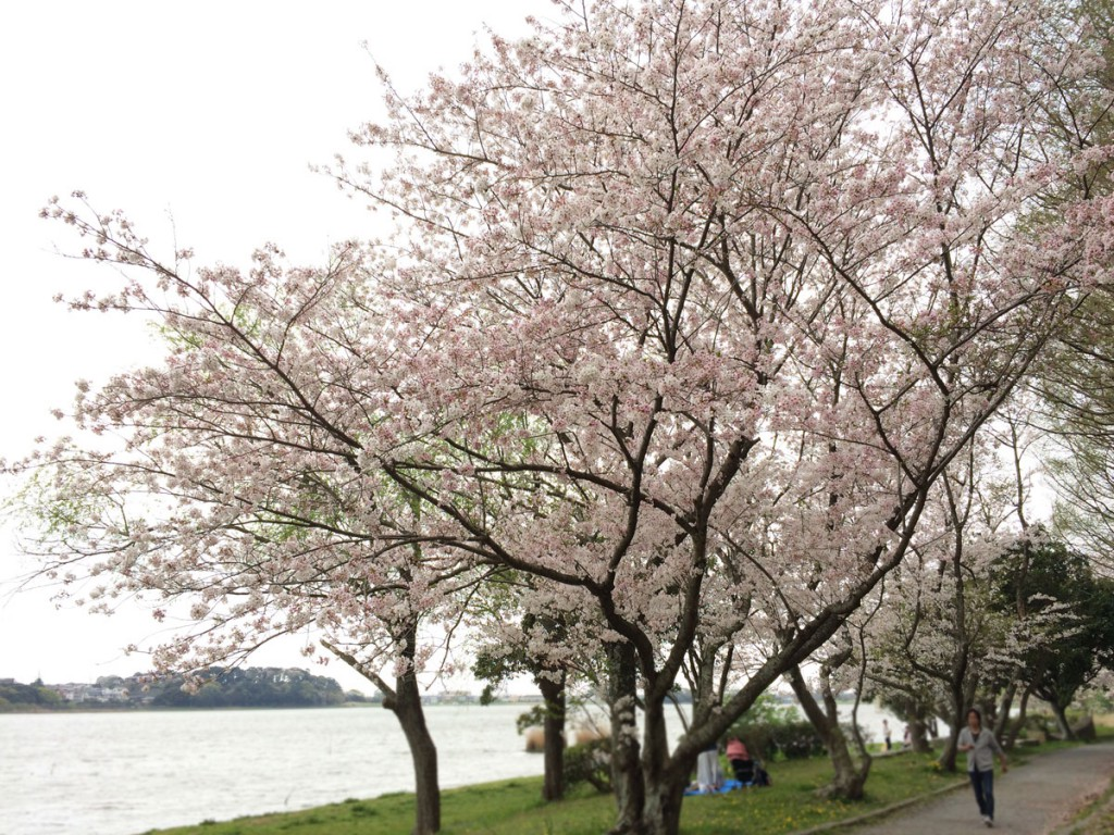 佐鳴湖西側の桜