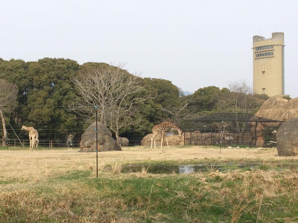 キリンの生態展示
