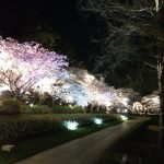 浜松フラワーパークの夜桜